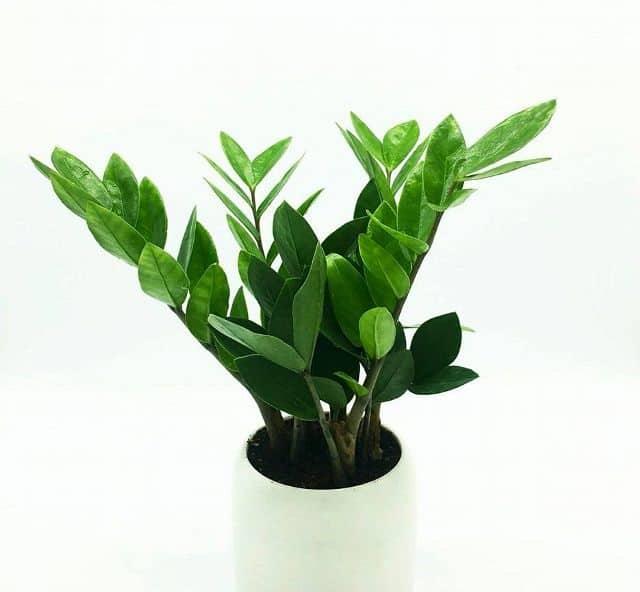 Cây cảnh hợp phong thủy nên trồng trong nhà